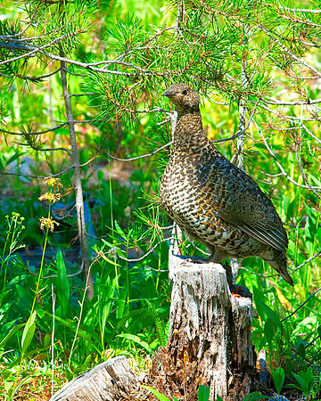 Grouse, Boise National Forest, Idaho