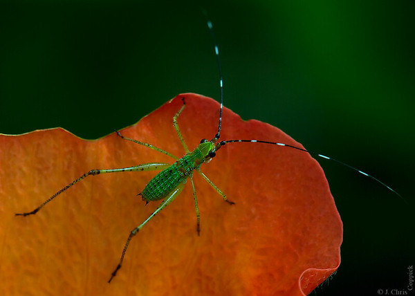 Katydid Nymph on Hibiscus Flower