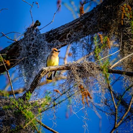Cedar Waxwing, Caddo Lake, Texas