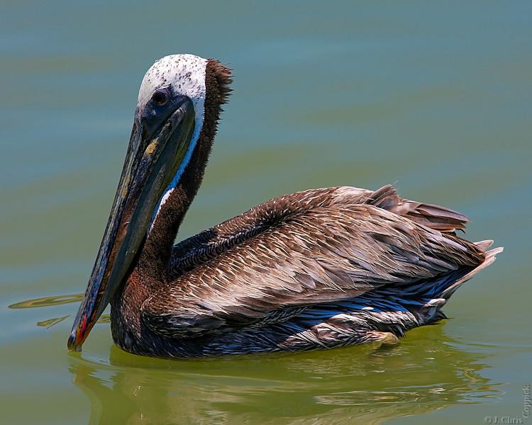 Pelican, San Leon, Texas