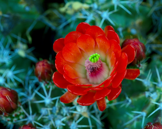 Claret Cup Cactus, Big Bend National Park, Texas