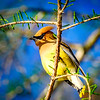 Cedar Waxwing, Caddo Lake, Texas