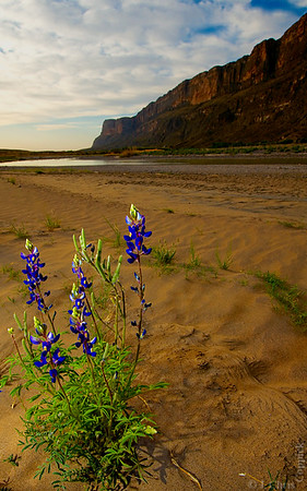 Lupine (Bluebonnet), Big Bend National Park, Texas