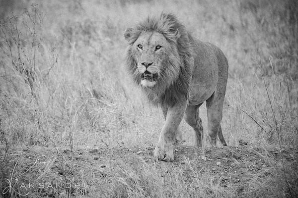 Safari-B&W-015