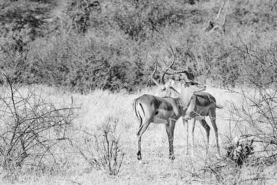 Safari-2ofaKind-021