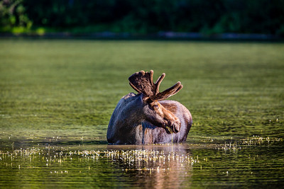 Bull Moose, Fishercap Lake, Glacier National Park, MT