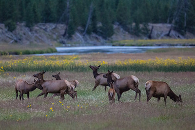 Dances with Elk!