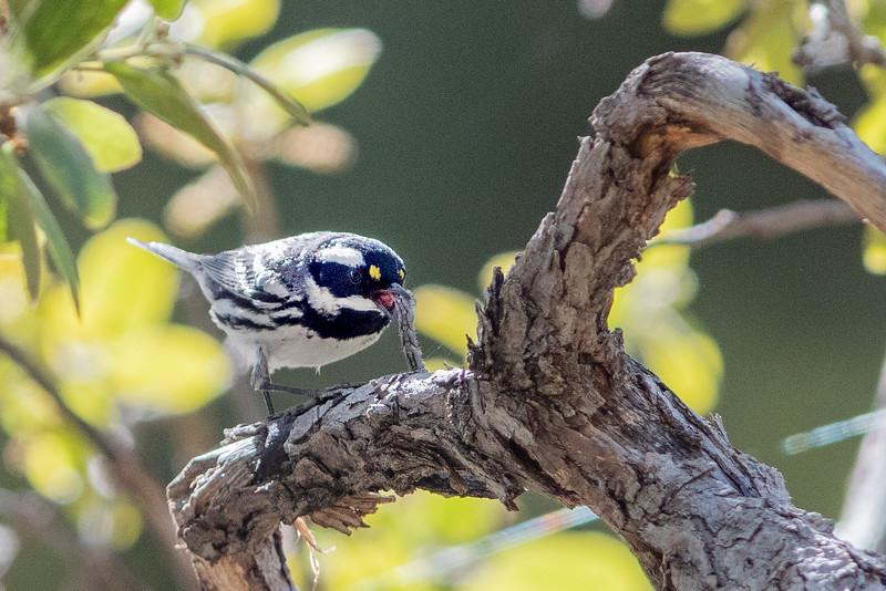 Grey-cheeked Warbler