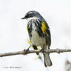 Yellow-RumpedWarbler_14May14-413