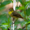 PalmWarbler_8May14-647