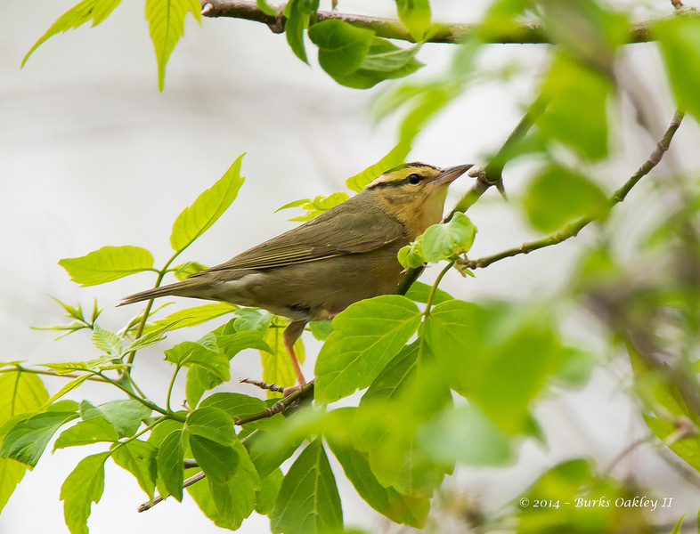 Worm-EatingWarbler_9May14-67