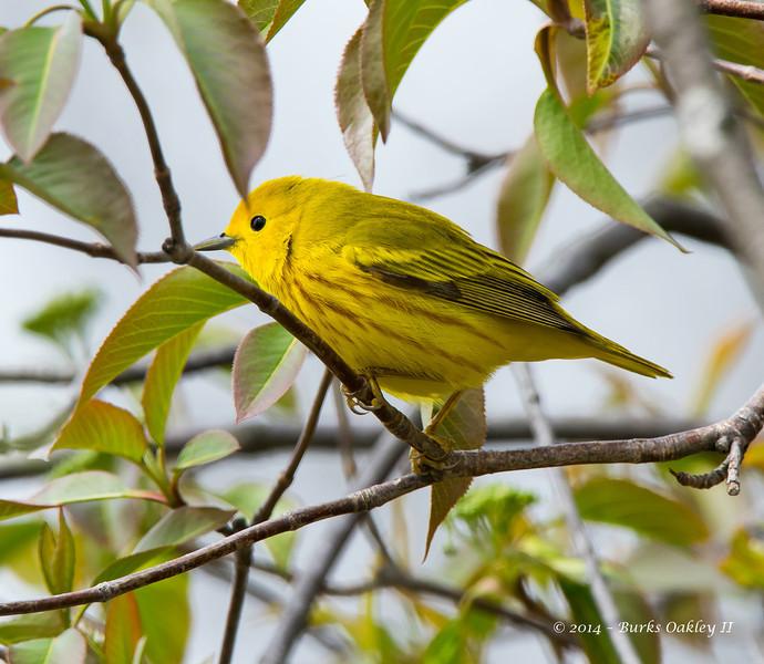 YellowWarbler_14May14-486