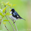 Black-ThroatedBlueWarbler_15May14-188