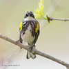 Yellow-RumpedWarbler_14May14-386