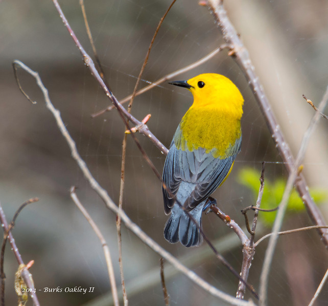 ProthonatoryWarbler_8May14-356