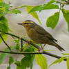 Worm-EatingWarbler_9May14-70