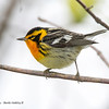 BlackburnianWarbler_15May14-231