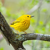 YellowWarbler_14May14-588