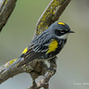 Yellow-RumpedWarbler_14May14-562