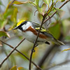 Chestnut-SidedWarbler_14May14-513