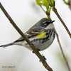 Yellow-RumpedWarbler_15May14-205