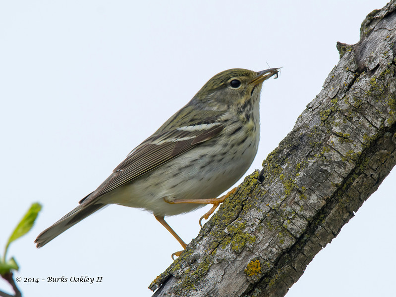 UnknownWarbler_14May14-452