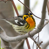 BlackburnianWarbler_15May14-227