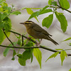 Worm-EatingWarbler_9May14-71