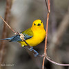 ProthonatoryWarbler_8May14-349