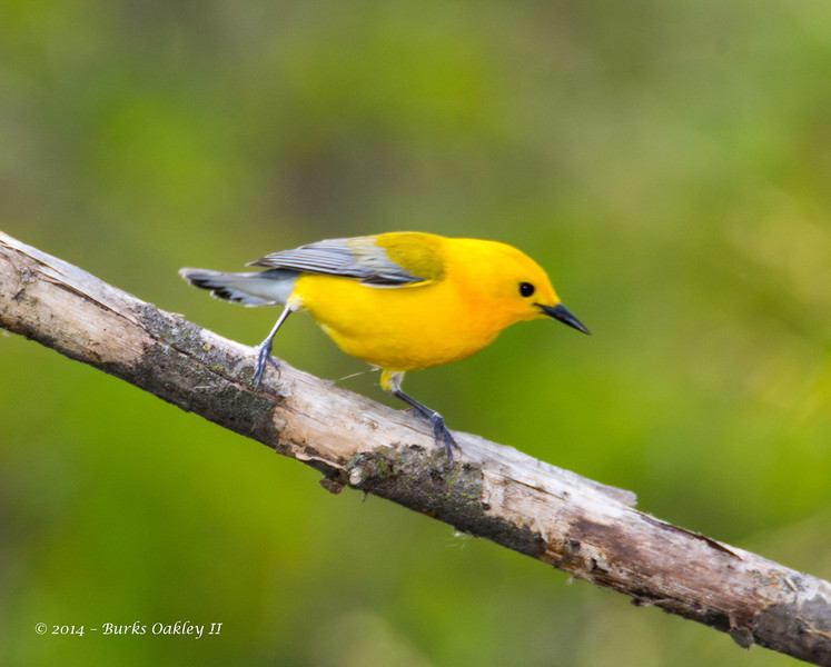 ProthonatoryWarbler_8May14-323