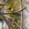 CapeMayWarbler_15May14-197