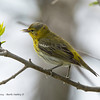 UnknownWarbler_14May14-499