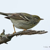 UnknownWarbler_14May14-464