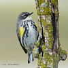Yellow-RumpedWarbler_15May14-208