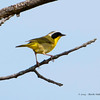 CommonYellowthroat_9May14-127
