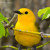 ProthonatoryWarbler_8May14-335