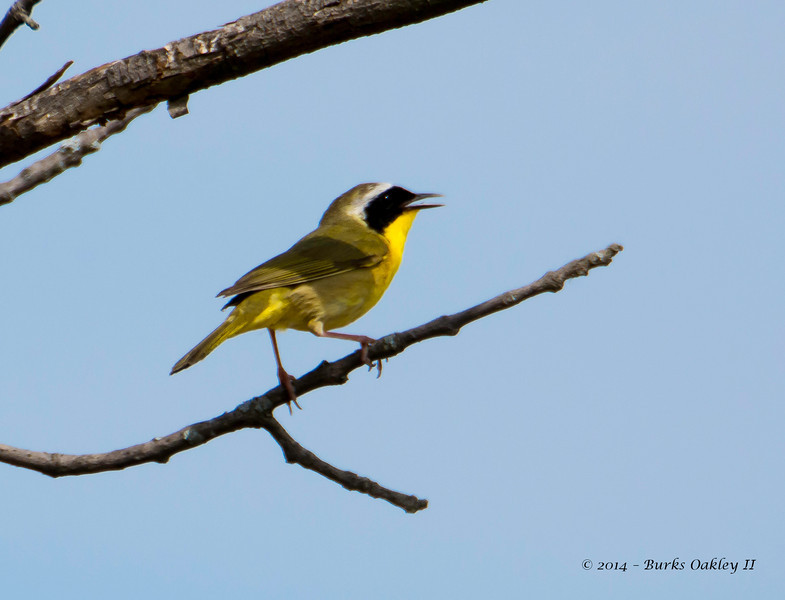 CommonYellowthroat_9May14-123