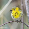 UnknownWarbler_14May14-545