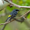 Yellow-RumpedWarbler_8May14-226