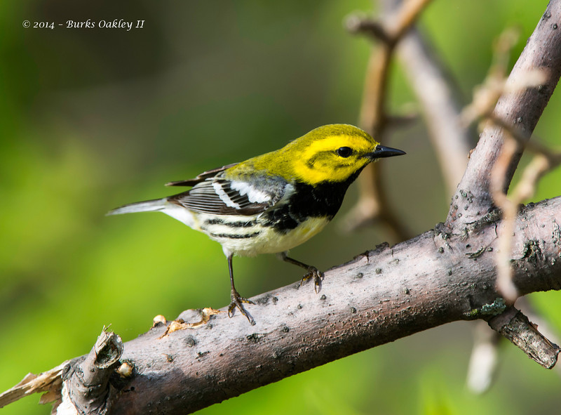 Black-ThroatedGreenWarbler_8May14-155
