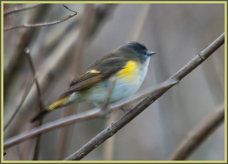 American Redstart ,Magee Marsh, OH