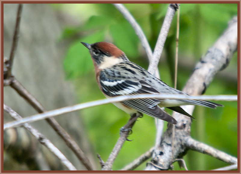 Bay-breasted Warbler, Magee Marsh, OH - 2011