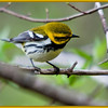 Black-throated Green Warbler, Magee Marsh, OH - 2011