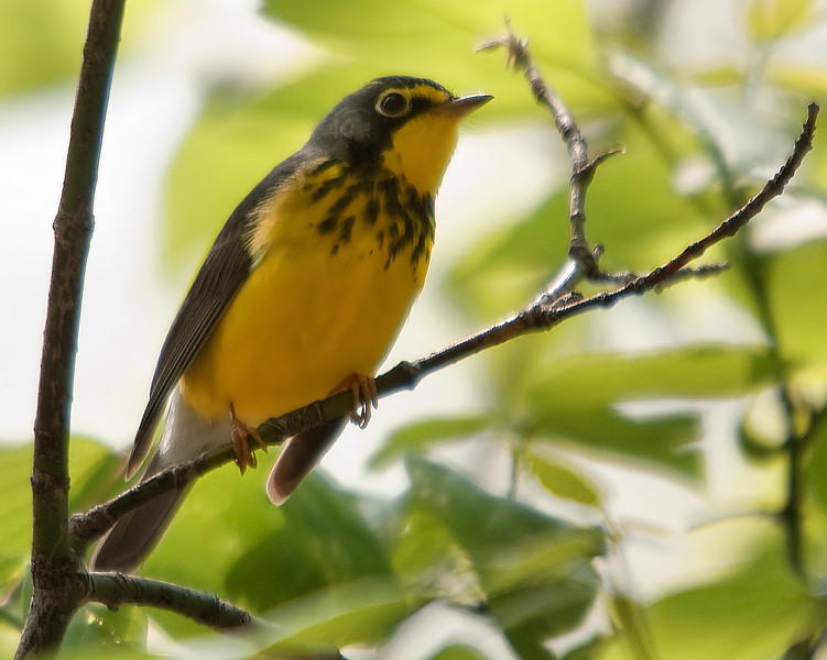 Canada Warbler, Magee Marsh, OH - 2012