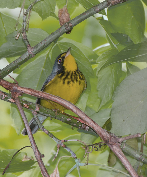 Canada Warbler, Magee Marsh, OH - 2011