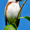 Chestnut-sided, Fox Hill Rd, Lake Desolation, NY