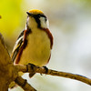 chestnut-sided, Magee Marsh, OH 2011