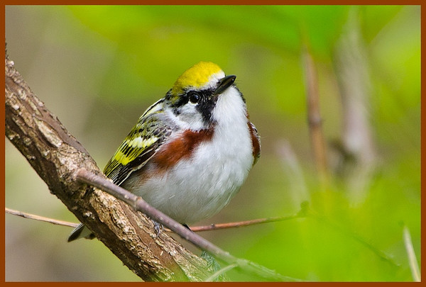 chestnut-sided Magee marsh, OH 2012