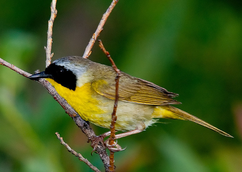 Common Yellowthroat<br /> Halfmoon Park, NY