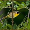 Common Yellowthroat<br /> Saratoga Battlefield, NY